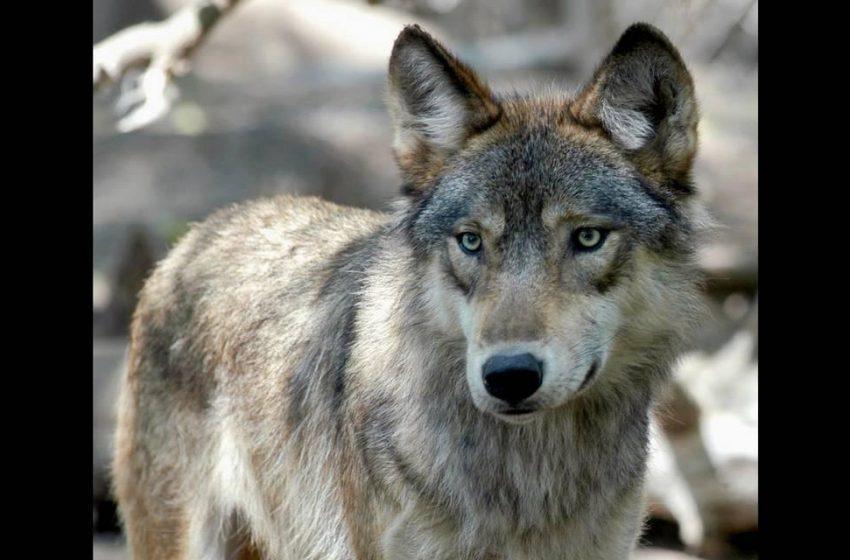 Pet wolf on walk near elementary school nets fine for Louisiana couple, officials say